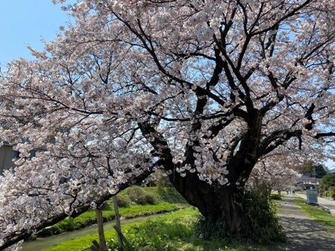 hakutyousakura200403.JPG