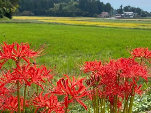 higannbana201003.jpg