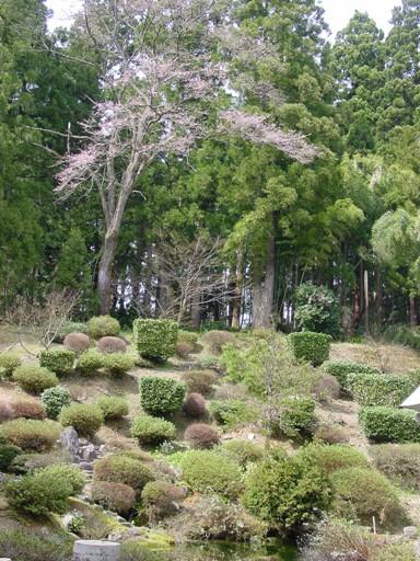 kosinohigannzakura100410.JPG