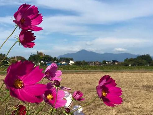 kosumosu1509211.jpg