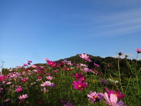 kosumosu151015.JPG
