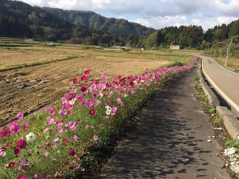 kosumosu1510251.jpg