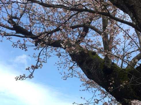 someiyoshino190411.jpg