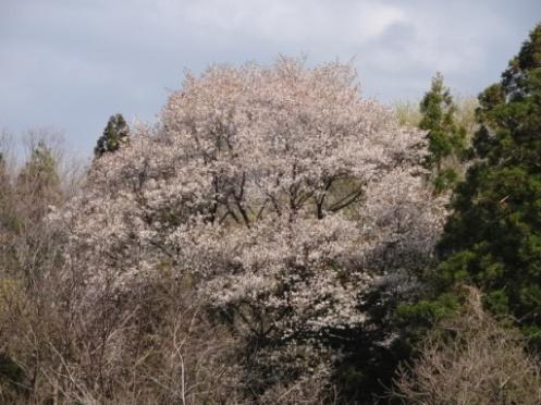 yamazakura130427.JPG