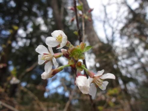 yamazakura140331.JPG